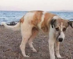 Stray dog kept chasing people on beach until someone finally helped her