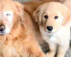 "Golden Retriever Loses Both His Eyes, Gets His Own ""Seeing-Eye"" Puppy"