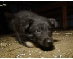 Malnourished Puppy Unable To Walk, Crawls To Rescuers When Puppy Mill Is Raided
