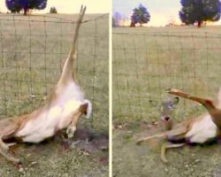 Deer Lies Hopelessly Trapped In Barbed Wire Fence, Until A Dog Starts Barking