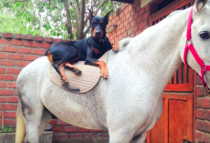 Doberman Is Known As The 'Horse Whisperer' And You're About To See Why