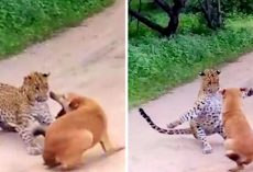 Leopard Tries To Ambush And Pounce On Dog, Doesn't Expect The Dog To Fight Back