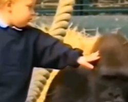Girl Who Grew Up With Two Gorillas Reunites With Them 12 Years Later In The Wild