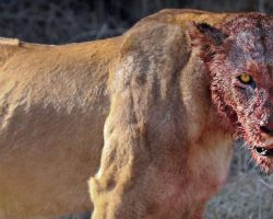 Lions Eat Three Rhino Poachers Alive In South African Game Reserve