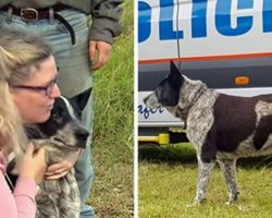 Loyal Blue Heeler Protected Toddler for 16 Hours in Remote Countryside