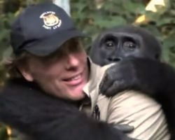 Man Reunites With A Gorilla He Raised As His Own Son And Released Into The Wild