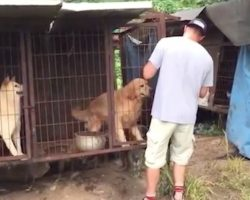 Dog rescuer spots golden retriever at meat farm and refuses to leave him behind