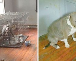 2 Pit Bulls Cruelly Abandoned In Empty House, One Of Them Was Locked In A Cage