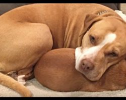 Man Wants To Adopt Pit Bull, But She Refuses To Let Go Of Her Best Friend