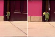 Devious Parrot Sneaks Into Room And Lets Out His Most Evil Supervillain Laugh