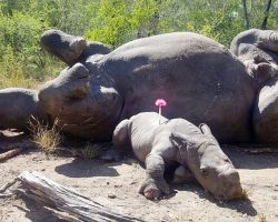 Rhino Calf Desperately Cried Out For Help After His Mom Was Killed By Poachers