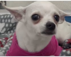 1-Year-Old Chihuahua Dumped At Shelter- Cries Herself To Sleep In Pink Sweater