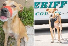 "Severely Abused Dog Gets Second Chance At Life, Now Fights Crime As A ""Deputy"""