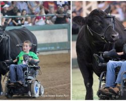 Disabled Boy And 1,400lb Steer Share Unbreakable Bond They Take To The Show Ring