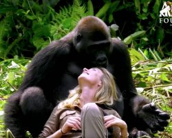 Wild Gorilla Is Smitten With Conservationist And Playfully Steals Her Baseball Cap
