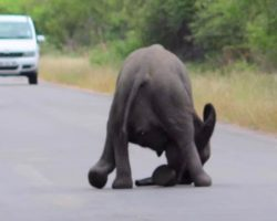 Baby elephant collapses in middle of the road. Now watch the entire herd come save it