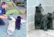 Officer Ordered To Kill 2 Scared Bear Cubs, Defies Order & Gets Punished Instead