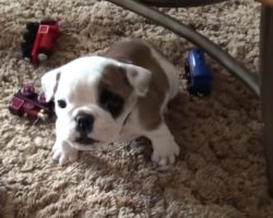 Little Bulldog Thinks She's Tough, Sets Out To Prove It On Camera