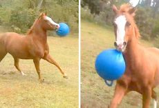 Horse Ditches Friends & Plays Alone With Favorite Ball, Friends Stare In Wonder