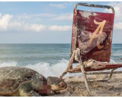 Dead Sea Turtle Strangled By Beach Chair Is A Grim Reminder For All Humans