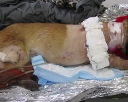 Hero Dog is Shot Four Times and is Given The Best Give Possible