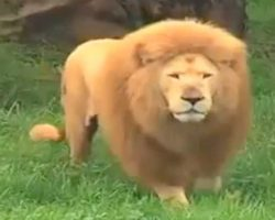 Lion Was Bored. Zookeeper Threw Him A Toy, But Caught Off Guard