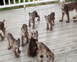 Alaskan Man Wakes Up to A Family of Lynx Playing On His Porch And Captures These Incredible Pics