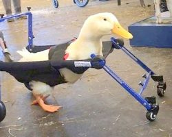 Company Made Wheelchairs For 50,000 Pets, Now Makes First Wheelchair For A Duck