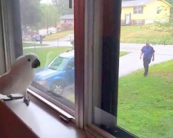 Cockatoo Waits For Dad To Return, Goes Crazy With Joy When He Finally Spots Him