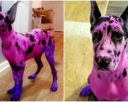 Woman Wanted Her Great Dane To Look 'More Approachable' – So She Dyed Her Pink