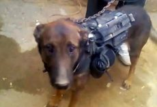 Taliban Captures Military Dog And Holds Him Hostage As A Prisoner Of War
