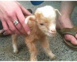 Video Of Baby Goats Is So Darn Cute, It's Breaking The Internet