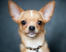 8 Amazingly Cute Toy Dog Breeds Ready To Sit On Your Lap