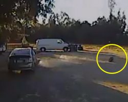 Small Dog Is Carried Off By A Coyote, But The Neighbor's Hero Rottweiler Springs Into Action