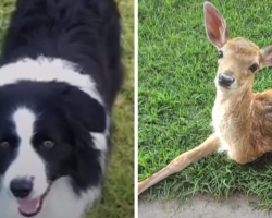 Abandoned Baby Deer Found Missing A Leg. Watch What These Dogs Do To Him