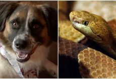 Fearless pup attacked & killed venomous snake as it made its way near her owner