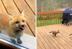 Adorable baby foxes show up at grandma's house, turn her porch into their playground