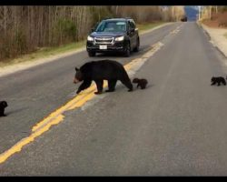 Mama Bear Tries To Get Her Family Across The Street, But The Littlest One Can't Keep Up