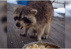 Blind Raccoon Visits A Woman For Years and Shows Up With The Cutest Body Guards