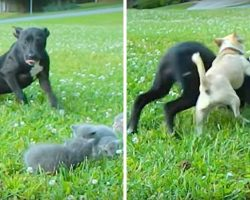 "Tiny Chihuahua Bravely Shields Little Kittens From The ""Attacks"" Of A Large Dog"