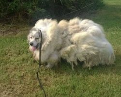 Dog Found Stuck In A Barn Looks Brand New After Getting 35 Pounds Of Fur Shaved Off