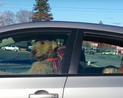 Impatient Dog Get Tired Of Sitting In The Car Waiting For Its Owners. Hilariously Takes Matters Into His Own Hands