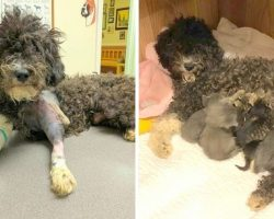 Poodle Who Lost Her Puppies Is Hit By Car, Feeds & Nurses Shelter Kittens To Cope