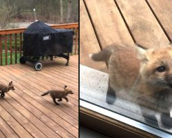 Fox Cubs Decide To Make Grandma's Porch Their Own Personal Playground