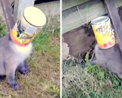 Terrified Fox Pup With Can Stuck Over His Head Screams For Someone To Help Him