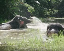 Two Freed Elephants Celebrate By Splashing Around In The Water For The First Time
