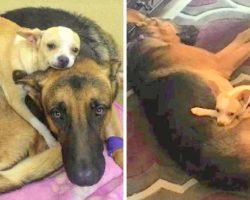 Chihuahua Nurses Sick Dog Back To Health, Heartbroken When They Take Him away