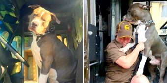 Pit Bull Sobs Like A Baby After Mom's Death, Begs UPS Driver To Give Him A Home