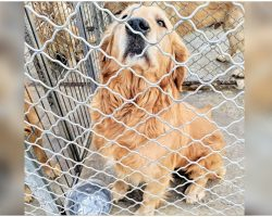 Golden At Meat Farm Sat With Intense Sorrow In Her Eyes, Pleading For Liberation