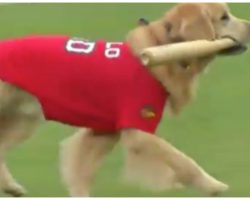 Baseball team trains Golden Retriever to be their new adorable batboy